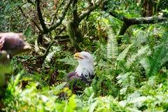 Kahler Adler in einem Wald Stockbild