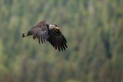 Kahler Adler-Flugwesen Stockbilder