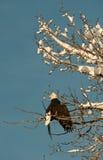 Kahler Adler gehockt auf Baum Stockfotografie