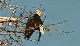 Kahler Adler gehockt auf Baum Lizenzfreies Stockbild