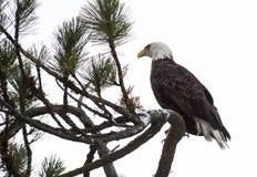 Kahler Adler gehockt auf einem Zweig Lizenzfreie Stockfotografie
