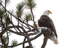 Kahler Adler gehockt auf einem Zweig Lizenzfreie Stockbilder