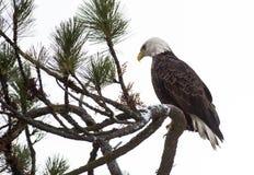 Kahler Adler gehockt auf einem Zweig Lizenzfreie Stockfotos