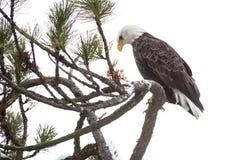 Kahler Adler gehockt auf einem Zweig Stockfotografie