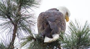 Kahler Adler gehockt auf einem Zweig Lizenzfreies Stockbild