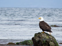 Kahler Adler gehockt auf Felsen Stockfoto