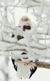 Kahler Adler gehockt auf Zweig Lizenzfreies Stockbild