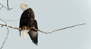 Kahler Adler gehockt auf Zweig Stockbilder