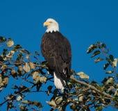 Kahler Adler gehockt im Baum Stockfotografie