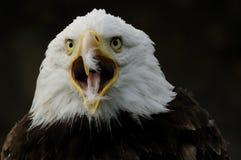 Kahler Adler (Haliaeetus leucocephalus) Lizenzfreies Stockfoto