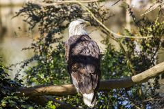 Kahler Adler (Haliaeetus leucocephalus) Stockfotos