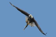 Kahler Adler (Haliaeetus leucocephalus) Stockfotografie