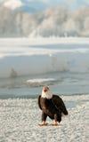 Kahler Adler (Haliaeetus leucocephalus) auf Schnee Stockfoto