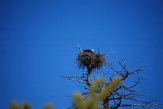 Kahler Adler im Aerie-Nest Stockbilder