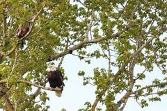 Kahler Adler im Baum Stockfotos