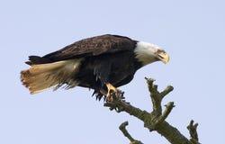 Kahler Adler im Baum Lizenzfreies Stockfoto