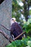 Kahler Adler im Baum Stockfoto