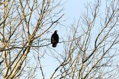 Kahler Adler im Baum Stockbilder
