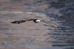 Kahler Adler im Flug Stockfoto