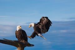 Kahler Adler im Flug Stockbild