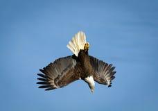 Kahler Adler im Flug Stockfotos
