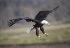 Kahler Adler im Flug Lizenzfreies Stockfoto