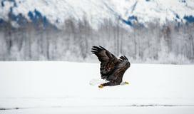 Kahler Adler im Flug Stockbilder