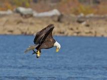 Kahler Adler im Flug mit einem Fisch Stockfotografie