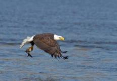 Kahler Adler im Flug mit einem Fisch Lizenzfreie Stockfotos