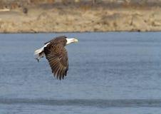 Kahler Adler im Flug mit einem Fisch Stockfoto