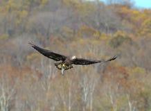 Kahler Adler im Flug mit einem Fisch Lizenzfreie Stockfotografie