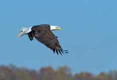 Kahler Adler im Flug mit einem Fisch Lizenzfreies Stockfoto