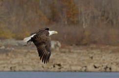 Kahler Adler im Flug mit einem Fisch Stockfotos
