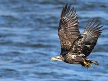 Kahler Adler im Flug mit Fischen Lizenzfreie Stockbilder
