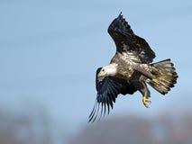 Kahler Adler im Flug mit Fischen Stockfoto
