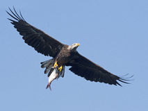 Kahler Adler im Flug mit Fischen Lizenzfreies Stockbild