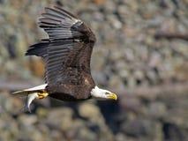 Kahler Adler im Flug mit Fischen Lizenzfreie Stockfotos