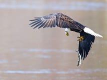 Kahler Adler im Flug mit Fischen Lizenzfreies Stockfoto