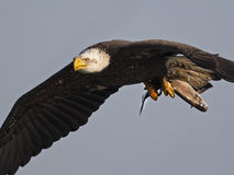 Kahler Adler im Flug mit Fischen Stockfotos