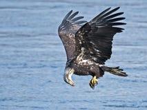 Kahler Adler im Flug mit Fischen Stockbilder