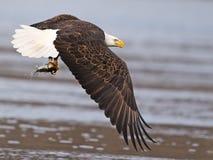 Kahler Adler im Flug mit Fischen Lizenzfreie Stockfotografie