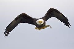 Kahler Adler im Flug mit Fischen Stockfotografie