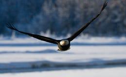 Kahler Adler im Flug USA alaska Chilkat Fluss Stockbilder