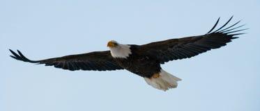 Kahler Adler im Flug USA alaska Chilkat Fluss Lizenzfreies Stockfoto