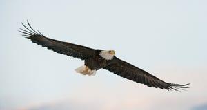 Kahler Adler im Flug USA alaska Chilkat Fluss Lizenzfreie Stockbilder