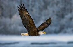 Kahler Adler im Flug USA alaska Chilkat Fluss Stockfoto