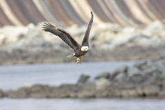 Kahler Adler mit einem Fisch Stockbild