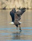 Kahler Adler mit Fischen Stockfotografie