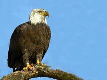 Kahler Adler mit Fischen Lizenzfreies Stockfoto