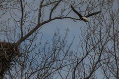 Kahler Adler und Nest Stockbild